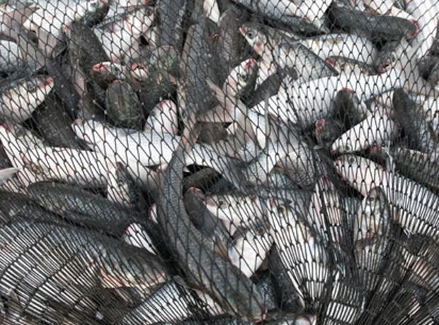 fish-caught-in-net.jpg